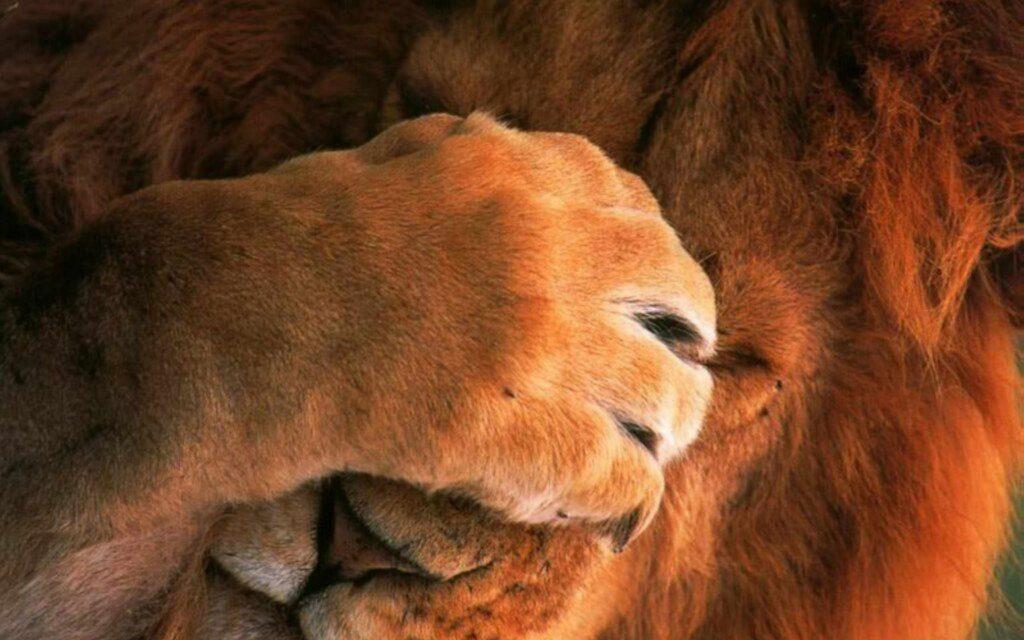 Львы на рабочий стол красивые картинки - подборка (6)