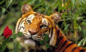 Открытки и картинки поздравления с днем тигра (11)