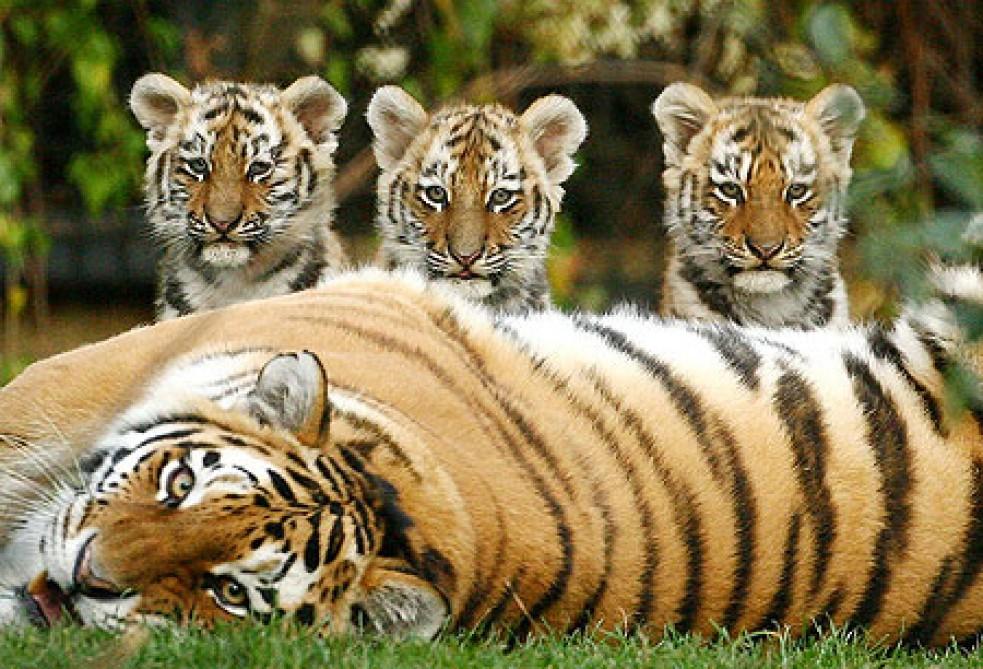 Открытки и картинки поздравления с днем тигра (12)