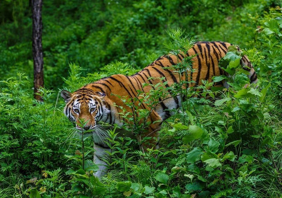 Открытки и картинки поздравления с днем тигра (13)