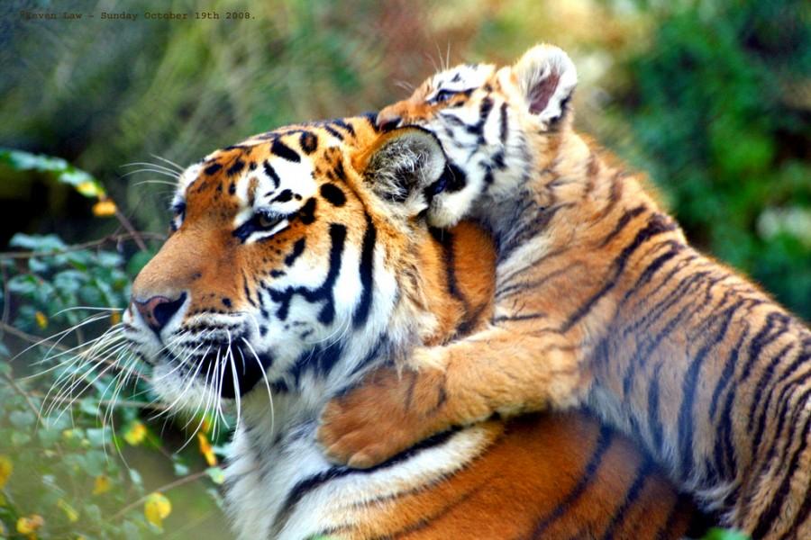 Открытки и картинки поздравления с днем тигра (14)