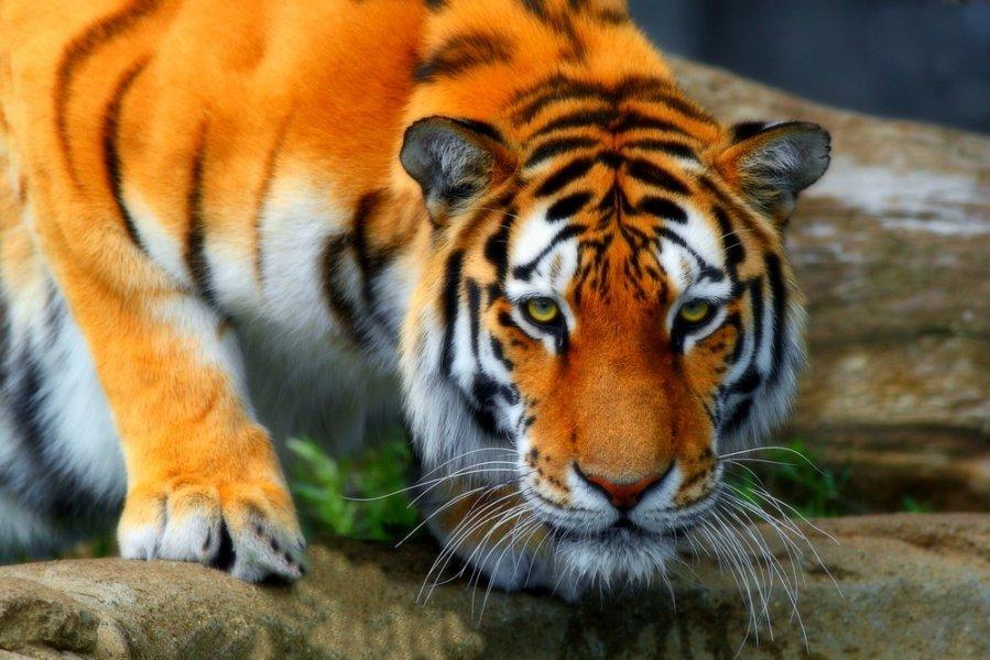 Открытки и картинки поздравления с днем тигра (15)