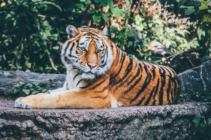 Открытки и картинки поздравления с днем тигра (17)