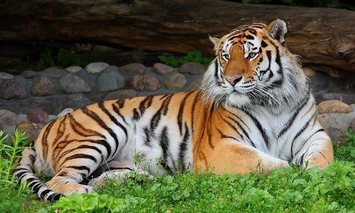 Открытки и картинки поздравления с днем тигра (20)