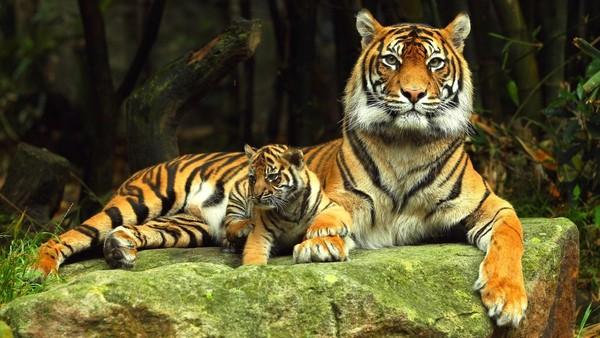 Открытки и картинки поздравления с днем тигра (4)