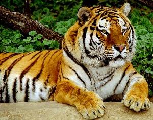 Открытки и картинки поздравления с днем тигра (6)