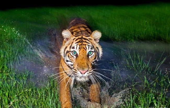 Открытки и картинки поздравления с днем тигра (7)
