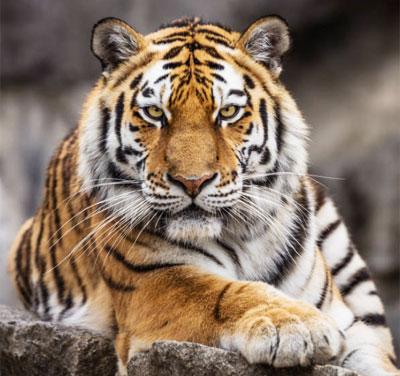Открытки и картинки поздравления с днем тигра (8)