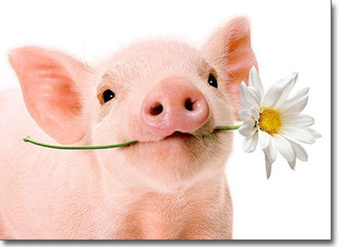 Фото свиней поздравления