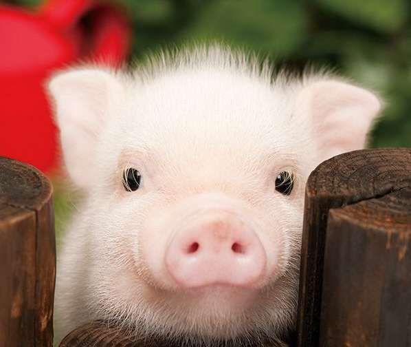 Прикольные картинки про свиней - 32 фото (20)