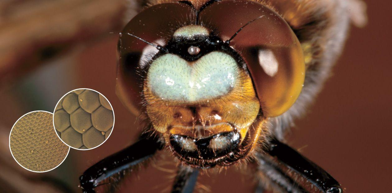 Как устроено зрение ночных насекомых (1)