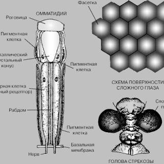 Как устроено зрение ночных насекомых (2)