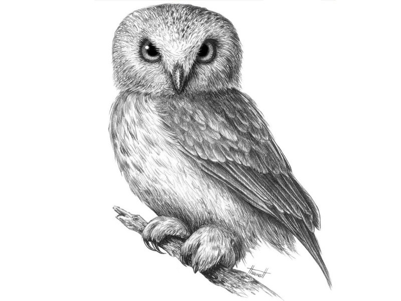 Картинки и рисунки карандашом сова017