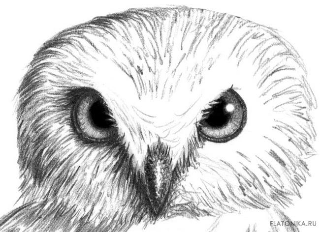 Картинки и рисунки карандашом сова019