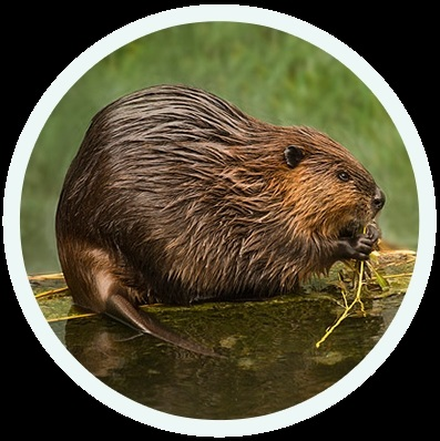 Картинки и фото на День европейского бобра (Eurasian Beaver Day)014