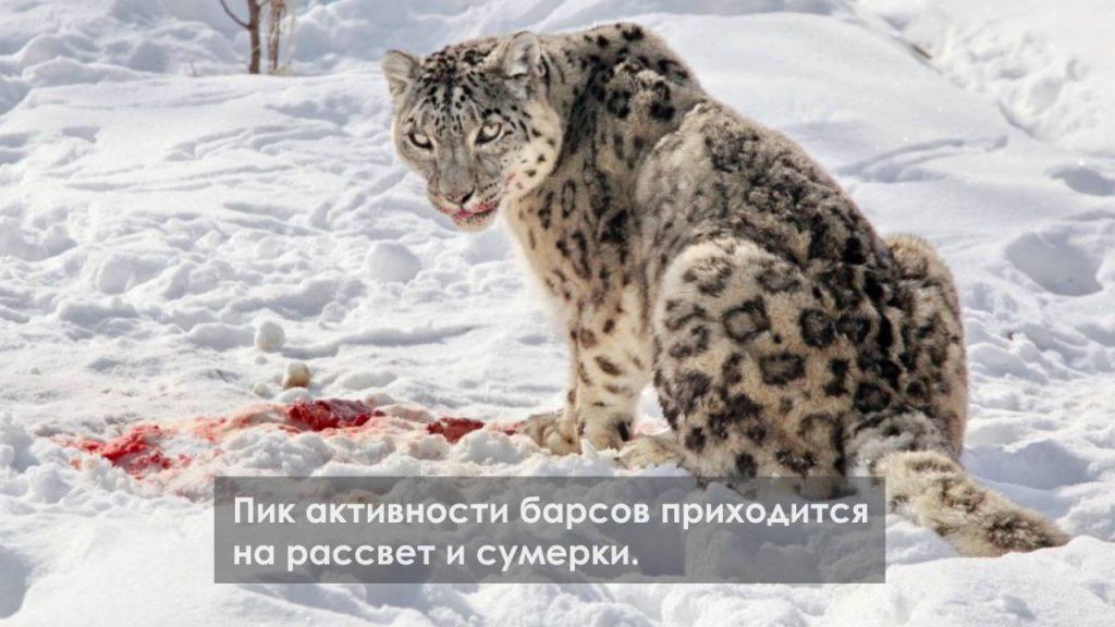 Картинки на Международный день снежного барса (6)