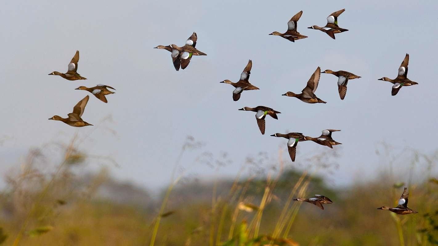 Красивые картинки на Всемирный день мигрирующих птиц013