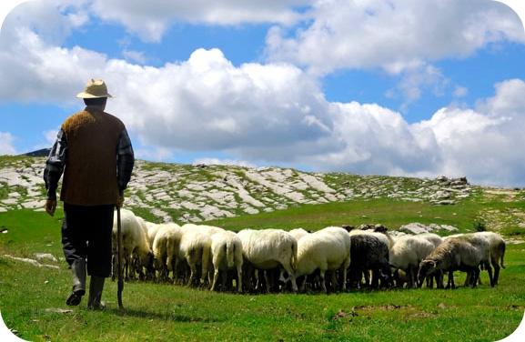 Пастух и овцы картина013
