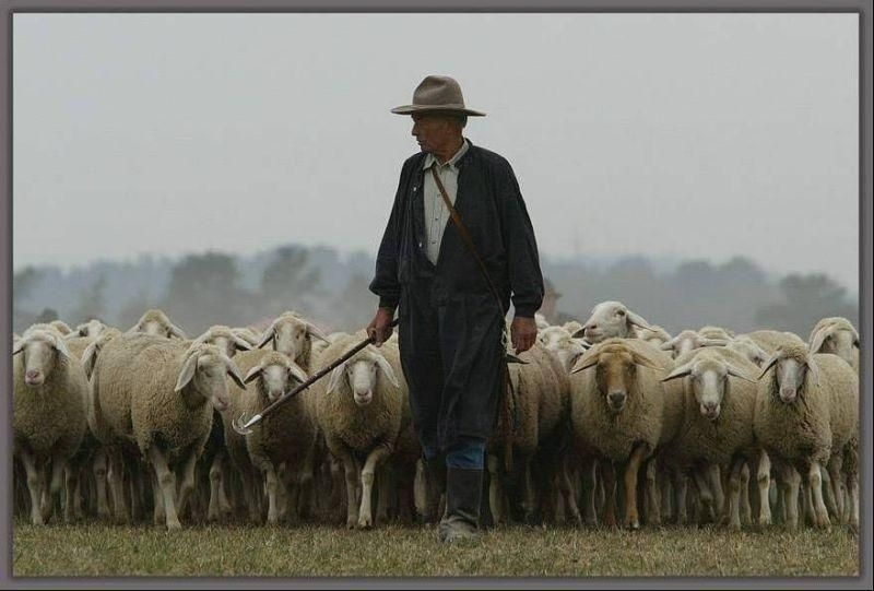 Пастух и овцы картина017