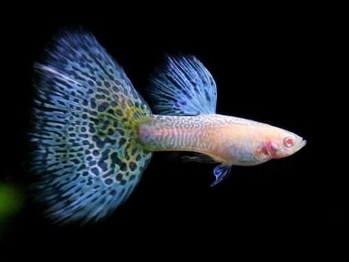 Советы по уходу за аквариумными рыбками гуппи (1)