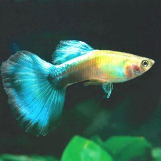 Советы по уходу за аквариумными рыбками гуппи (2)