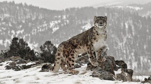 С днем снежного барса открытки и фото (8)