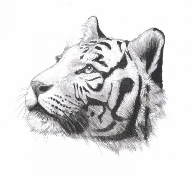 Красивые рисунки тигра для срисовки001