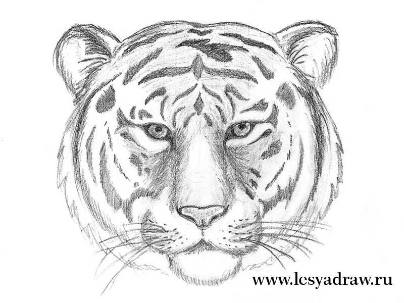 Красивые рисунки тигра для срисовки003