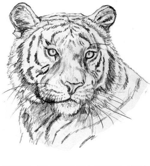 Красивые рисунки тигра для срисовки004
