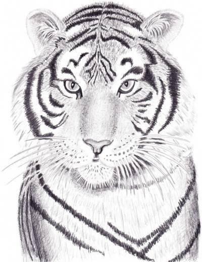 Красивые рисунки тигра для срисовки012