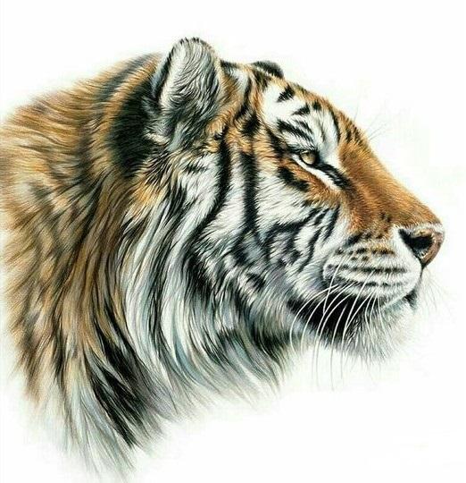 Красивые рисунки тигра для срисовки018