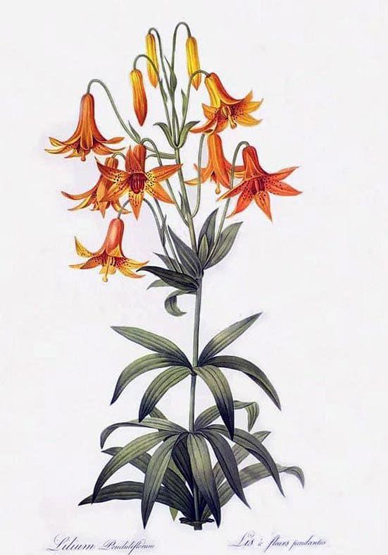 Красивые рисунки цветов для срисовки (19)