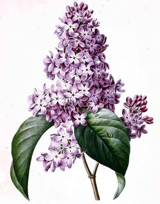 Красивые рисунки цветов для срисовки (2)