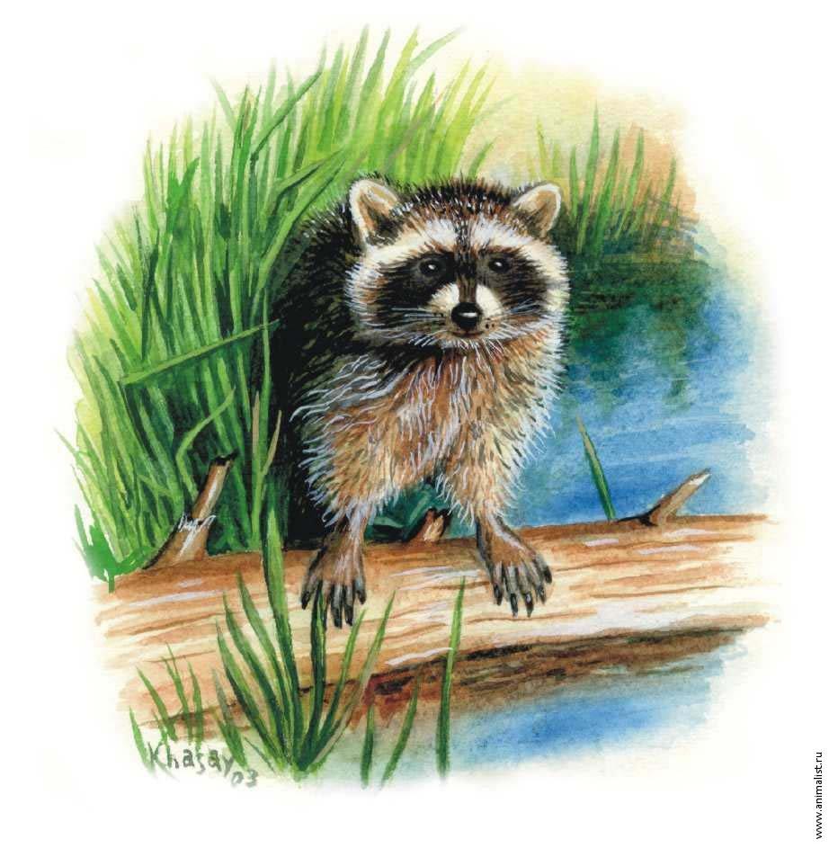 Красивый рисунок акварелью Енот (8)