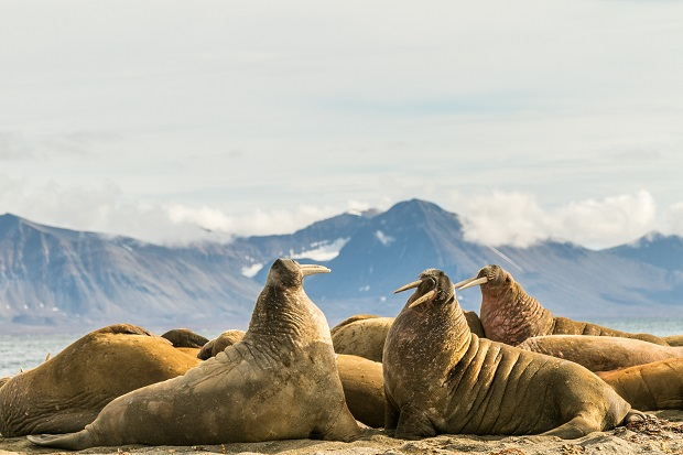Group of walruses on Prins Karls Forland, Svalbard