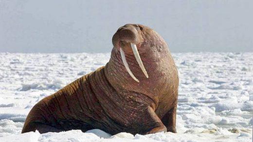 Прикольные картинки на День моржа в России (3)