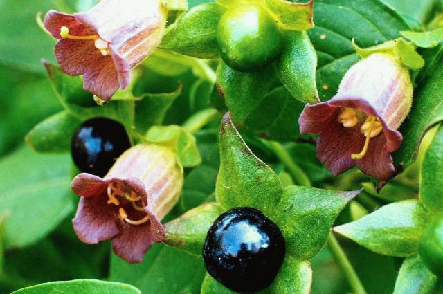 Самые опасные растения для детей 10