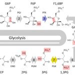 Глюкоза в процессе гликолиза