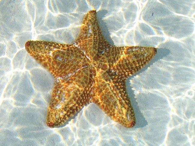 Картинка морская звезда для детей (7)