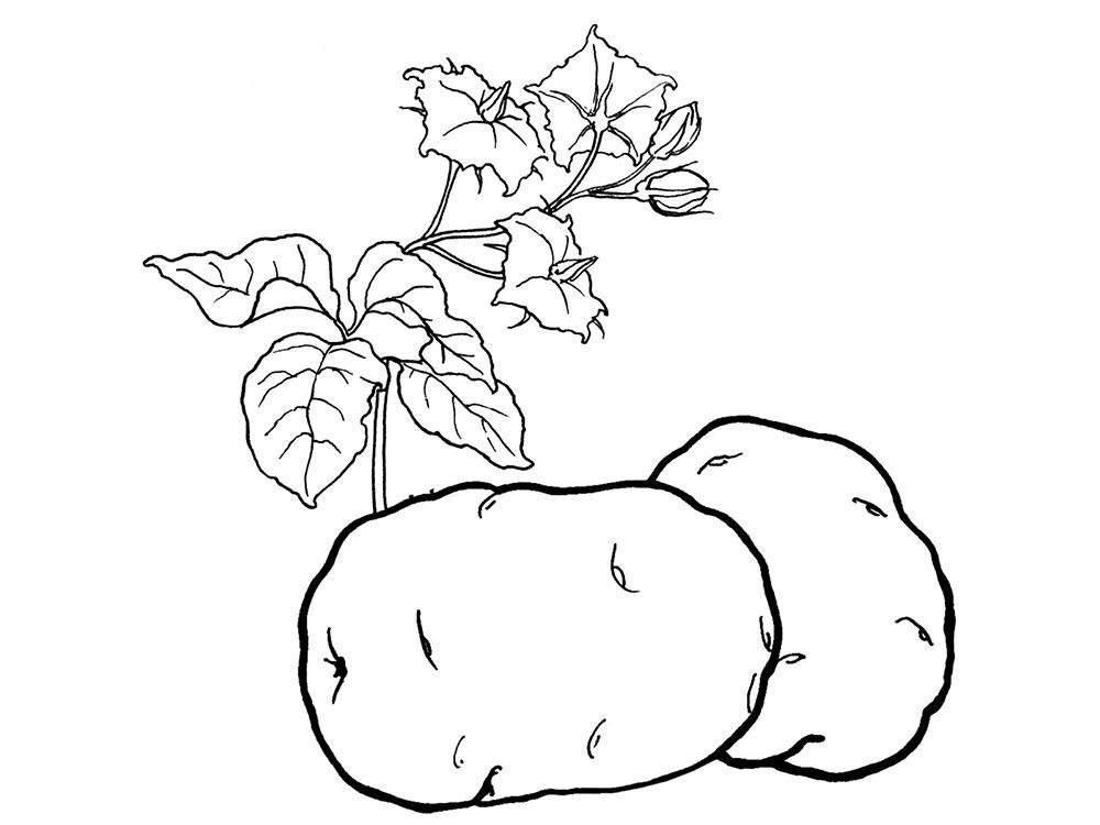 Картинки картошки для детей цветные (10)