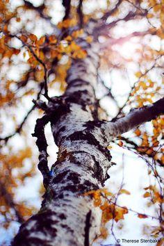 Осенняя береза картинка для детей (15)
