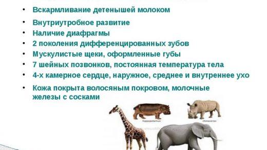 Почему человек относят к классу млекопитающих так как у него есть