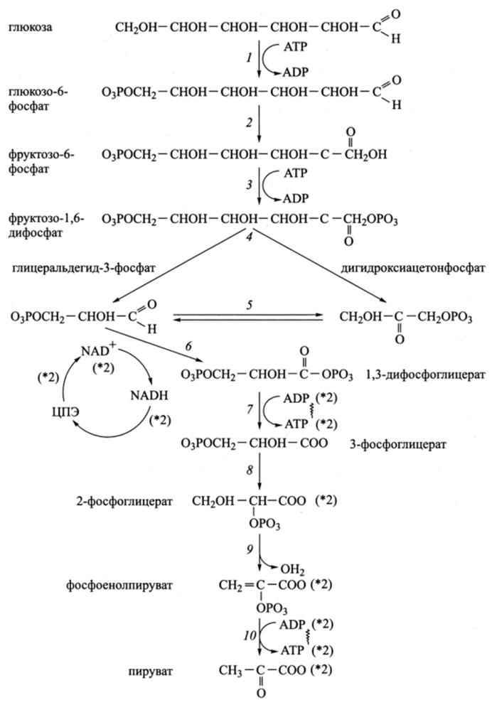 Процесс гликолиза