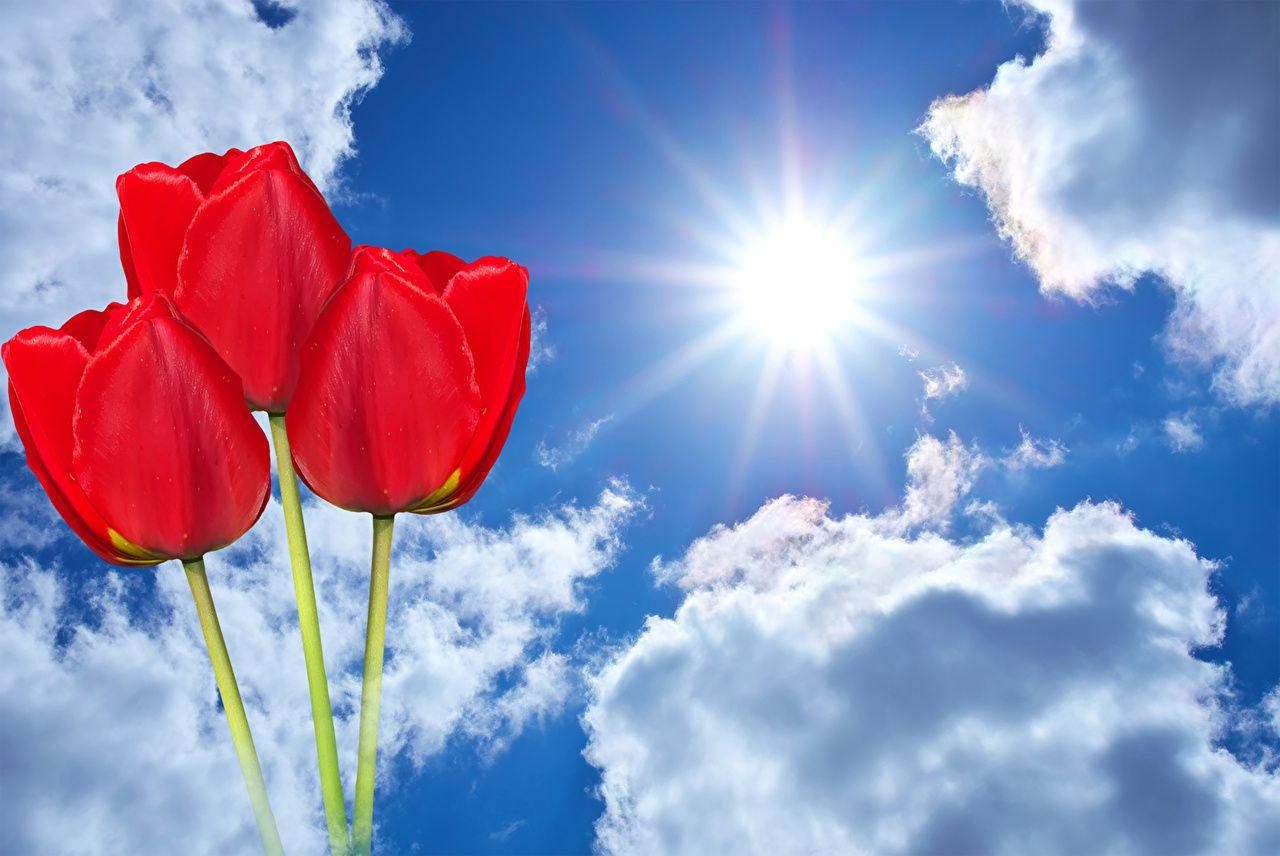 Самые лучшие картинки на телефон тюльпаны (1)