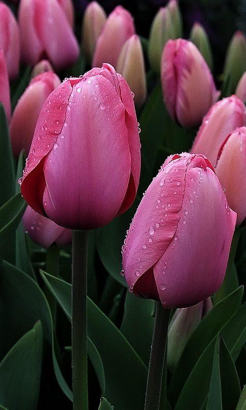 Самые лучшие картинки на телефон тюльпаны (10)