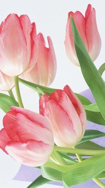 Самые лучшие картинки на телефон тюльпаны (12)