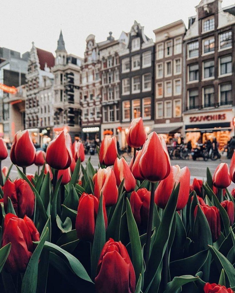 Самые лучшие картинки на телефон тюльпаны (17)