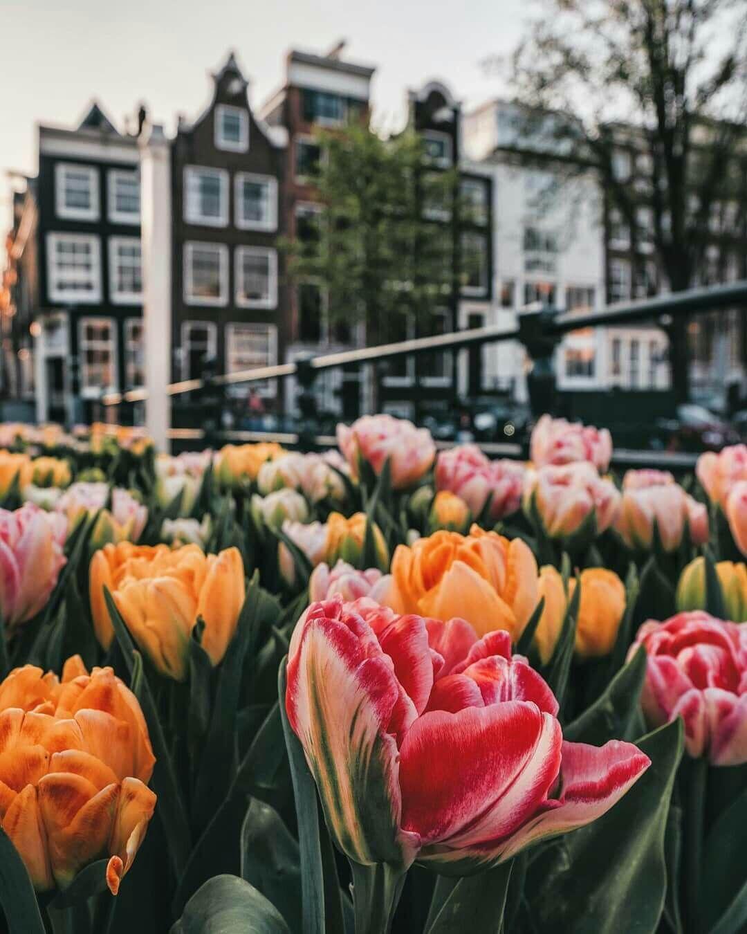Самые лучшие картинки на телефон тюльпаны (21)