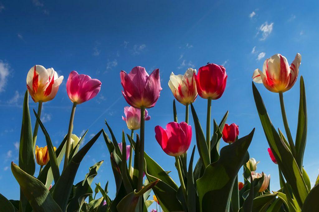 Самые лучшие картинки на телефон тюльпаны (25)