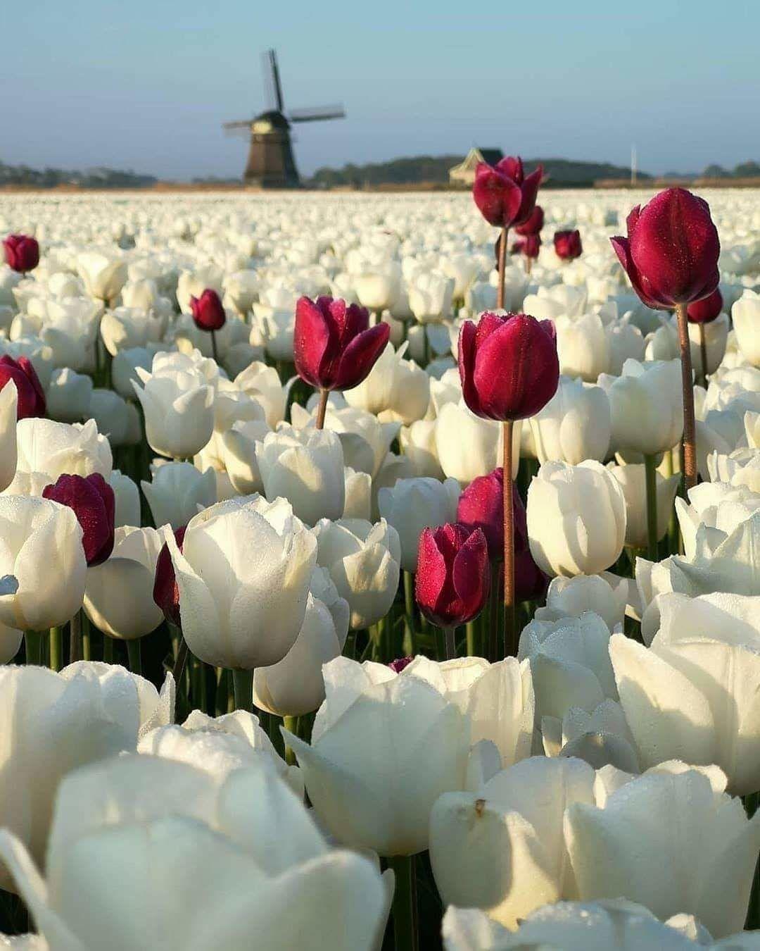 Самые лучшие картинки на телефон тюльпаны (26)